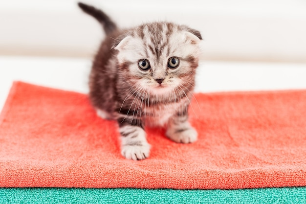 Любопытный котенок. вид сверху на любопытного шотландского вислоухого котенка, сидящего на разноцветной стопке полотенец