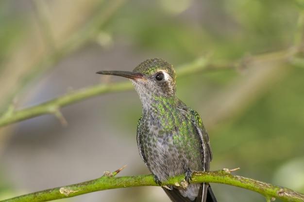 Любопытная маленькая колибри смотрит вперед, стоя на изогнутой ветке в лесу