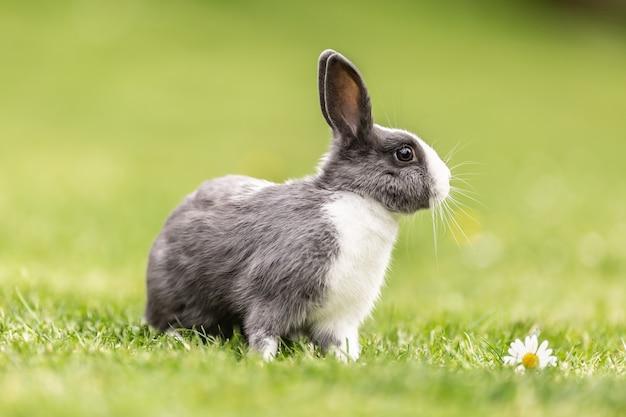 정원의 풀밭에 앉아 있는 호기심 많은 가축 토끼.