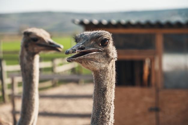 Любопытная голова страуса