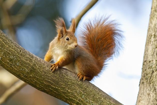 秋の自然の木に座っている好奇心旺盛なキタリス。