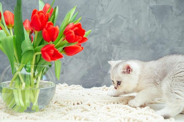 Любопытный серебристый британский котенок и букет тюльпанов на сером столе.