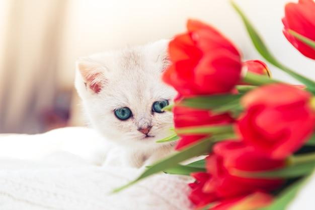 Любопытный серебристый британский котенок играет на кровати с тюльпанами. высокий ключ, солнечный весенний день.