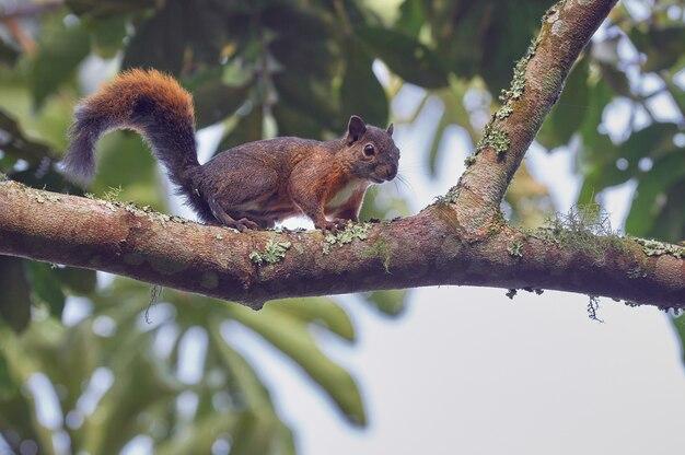 Любопытная белка восхождение среди деревьев