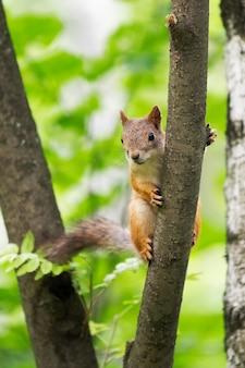 자연 서식지에있는 나무에 호기심 많은 다람쥐