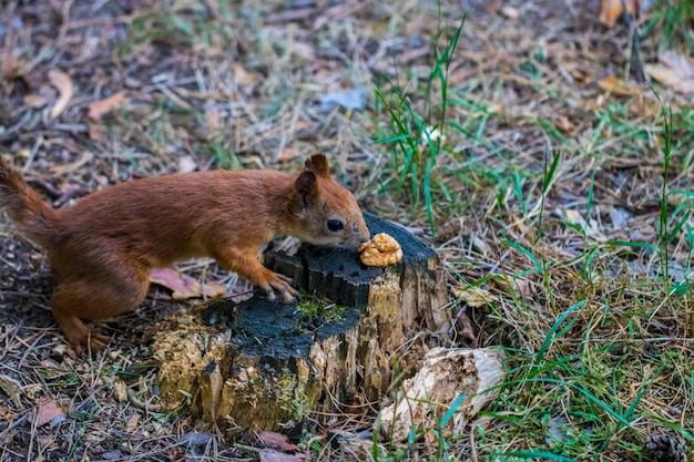The curious squirrel. red squirrel. squirrel. forest.