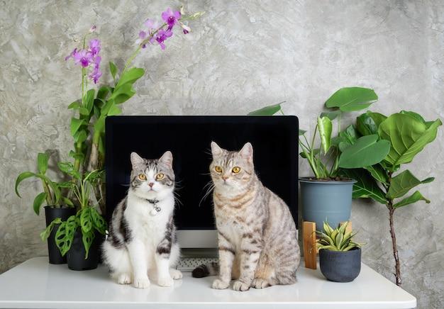 Любопытные два кошачьих сына за рабочим столом с компьютерными цветами орхидей и парниковым растением монстера на белом столе, концепция работы из дома