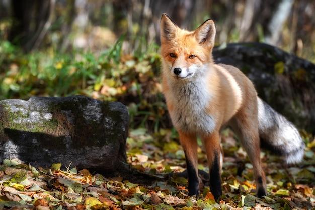 好奇心旺盛な若い赤狐の肖像画をクローズアップ。