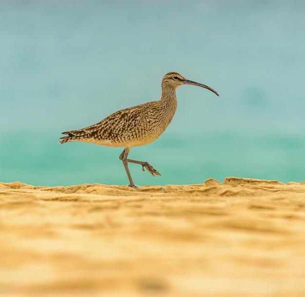 Карлик птица на пляже