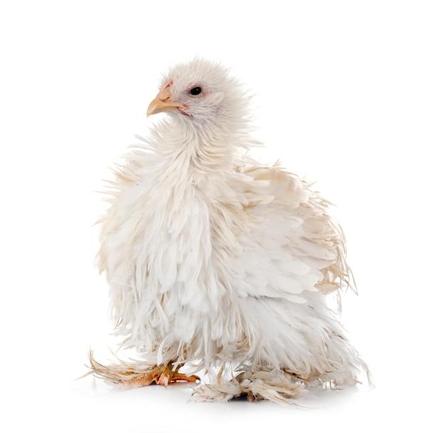 Кучерявый цыпленок кочин на белом фоне