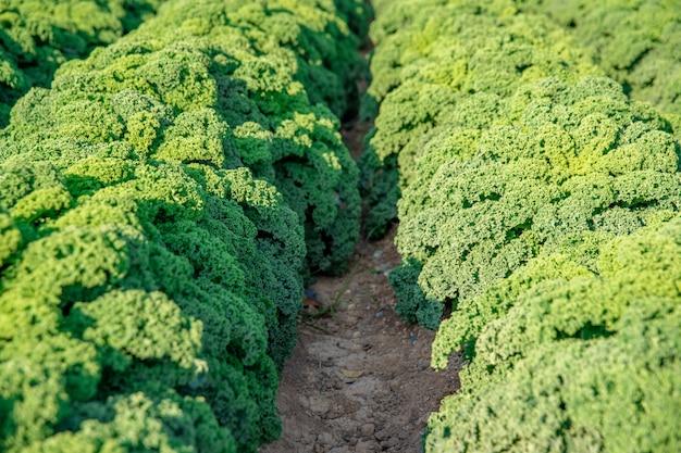 Curly kale grown on a farm field in spain