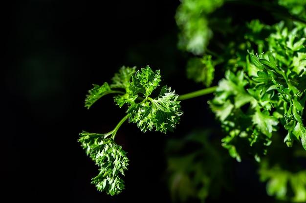 巻き毛のパセリの葉は庭でクローズアップ