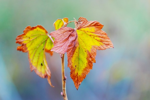 Currant branch with colorful autumn leaves on blurred background