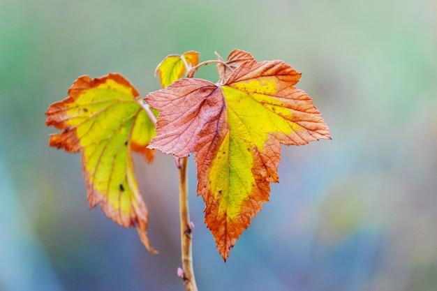 ぼやけた背景にカラフルな紅葉とスグリの枝