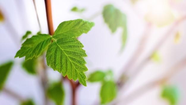 若い新鮮な緑の葉を持つスグリの枝