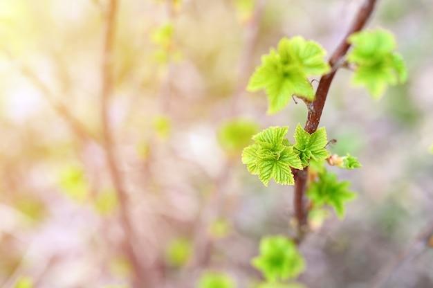 春になると、枝のスグリのつぼみが開き、庭に葉が生えます。セレクティブフォーカス。フレア