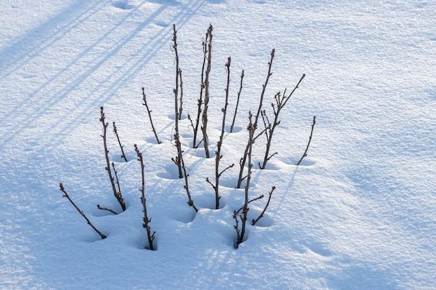 雪に覆われた庭のスグリの茂み、ウィンターガーデン