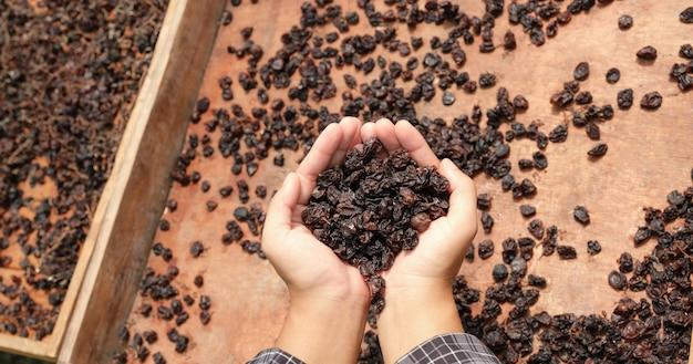 有機レーズン乾燥ヤードの前で若い女性の手でカラントブドウ。