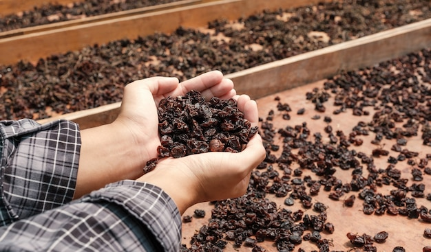 Currant grapes in young woman hand in front of organic raisin drying yard.