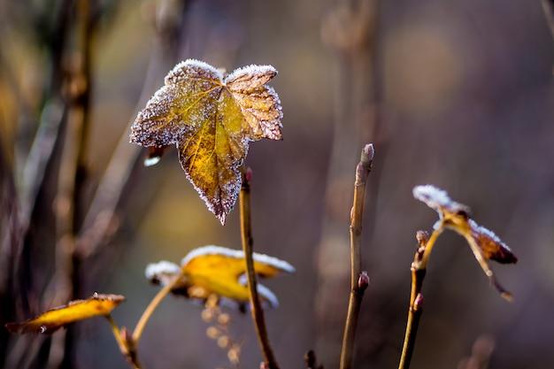 スグリの葉は最初の霜で覆われています。晩秋のスグリの茂み