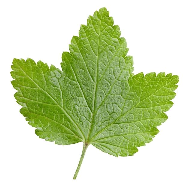 Листья смородины, изолированные на белом фоне. путь клиппирования листьев смородины. фотография еды