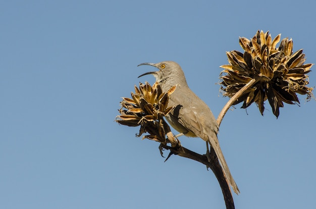 Curve-bill thrasher in full song while perched atop an agave plant, horizontal