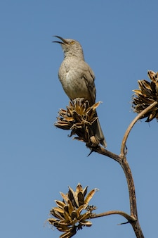 Curve-bill thrasher in full song while perched atop an agave plant, vertical