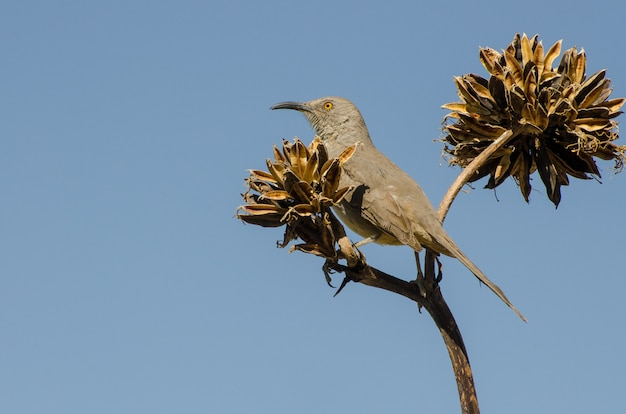 Curve-bill thrasher perched atop an agave plant, horizontal