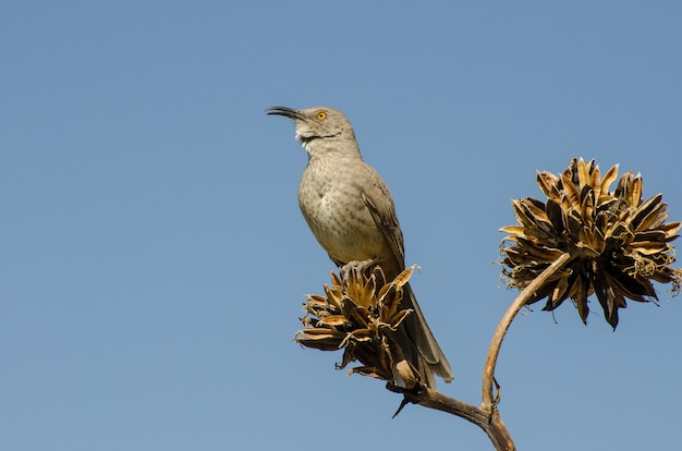Curve-bill thrasher perched atop an agave plant, , horizontal