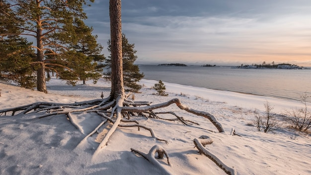 Curved pine root on the shore of lake ladoga on a winter