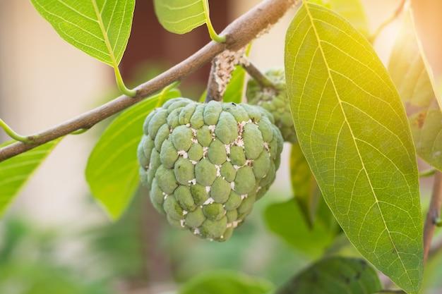 Custard apple tropical fruit on green tree