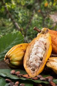 背景に焦点がぼけたカカオ農園でカカオ果実と生のカカオ豆を切ります。