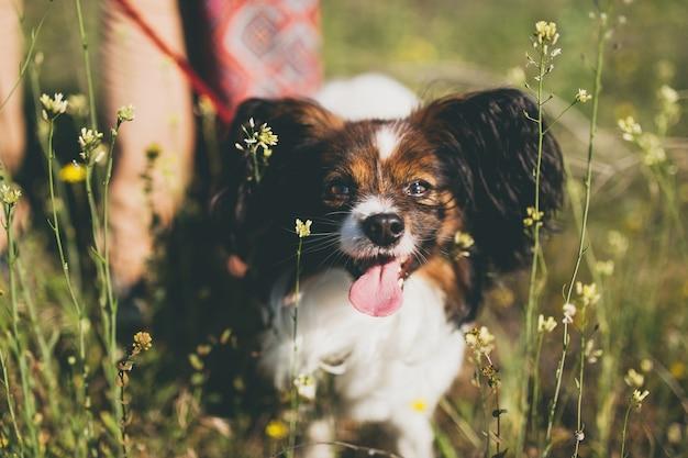 切る?草の中を歩く犬パピヨン品種