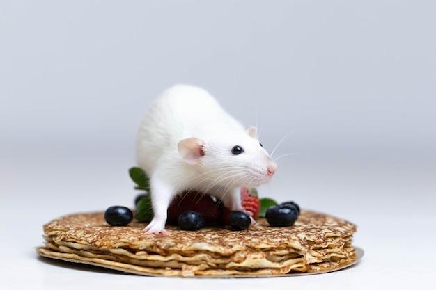 Разрезанная крыса сидит на вкусных блинчиках с клубникой и черникой.