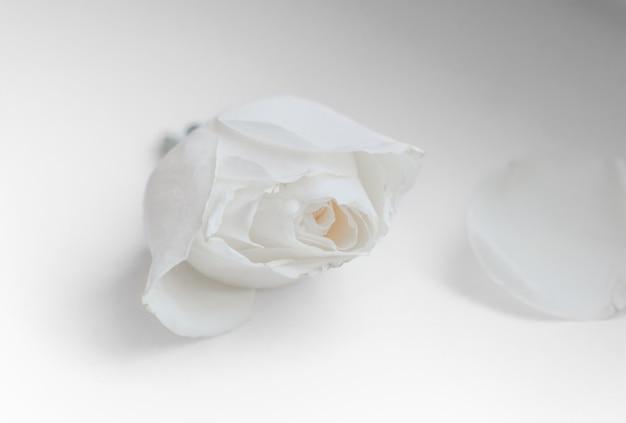 枯れの白い背景のシンボルの上に近くに横たわっている白いバラのつぼみと花びらをカットします