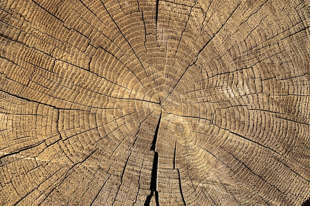 Cut wood tree section with cracks and annual rings