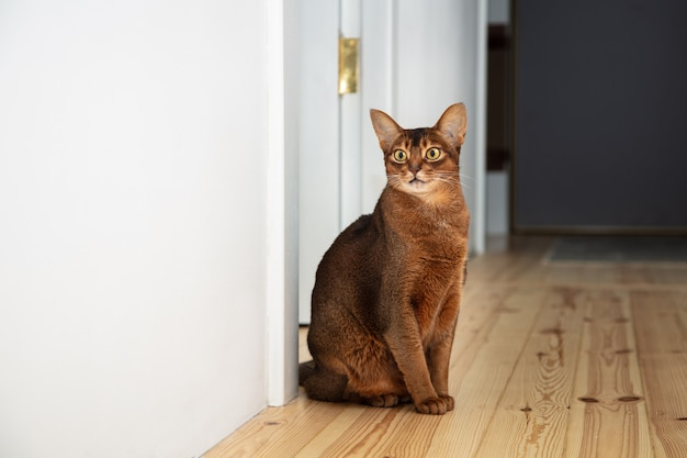 Cute abyssinian adult cat sitting on the floor in the apartment.