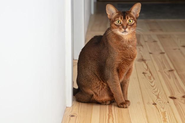 Симпатичная взрослая абиссинская кошка сидит на полу в квартире. питомец красивый и игривый