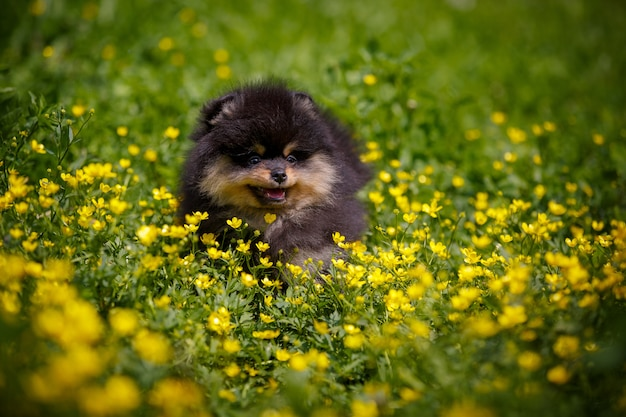 Cute active puppy in flowers on a walk.