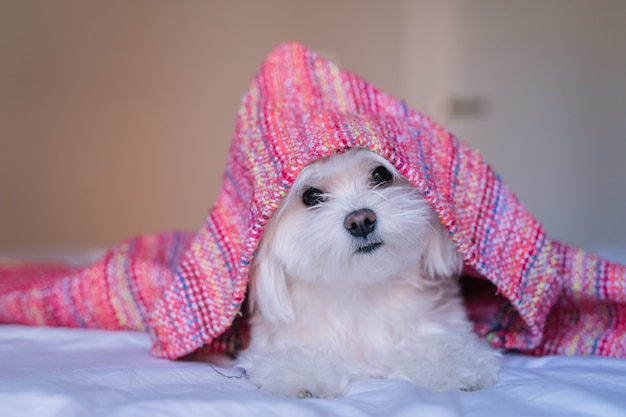 Cute adorable maltese dog ob bed wearing a pink hood