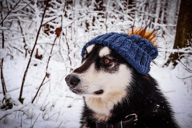 Симпатичный аляскинский маламут в зимнем лесу