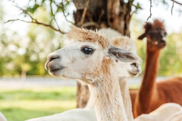 夏の牧場でリラックスできるかわいいアルパカ。自然エコファームの牧草地で放牧している国内アルパカ