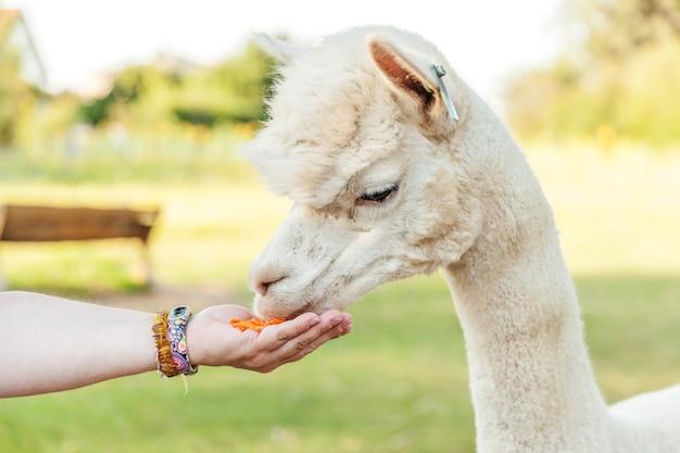 夏の日の牧場で手に餌を食べる変な顔のかわいいアルパカ。