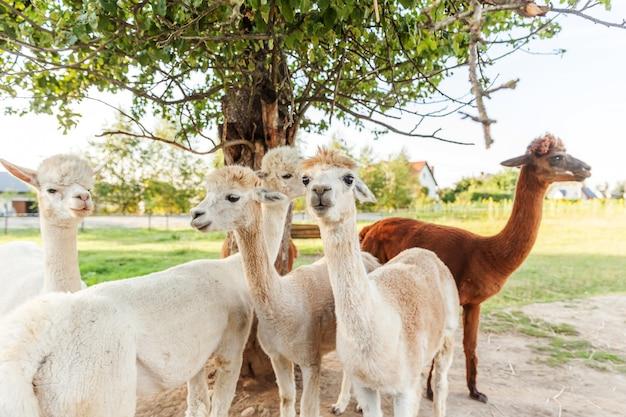 夏の牧場でリラックスした変な顔のかわいいアルパカ。自然エコファームの牧草地で放牧している国内アルパカ