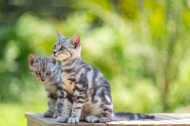Милый американский короткошерстный котенок в саду