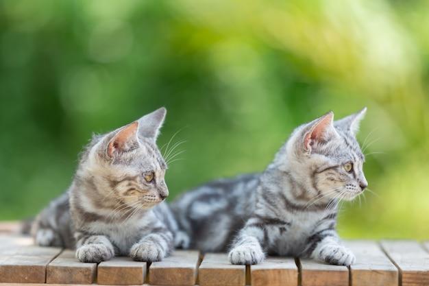 정원에서 귀여운 아메리칸 쇼트 헤어 고양이 새끼 고양이