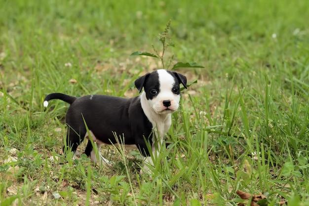 Cute amstaff puppy dog