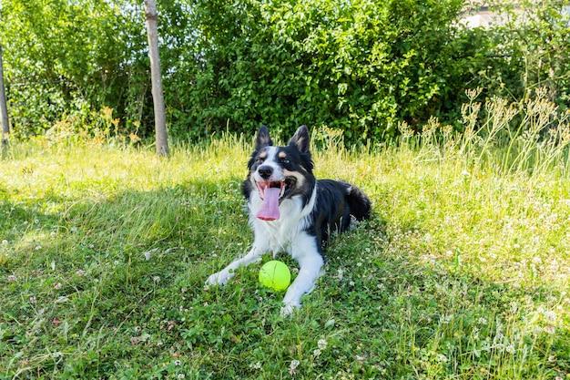 귀엽고 사랑스러운 웨일스 어 sheepdog가 혀를 내밀고 풀밭에 앉아 있습니다.