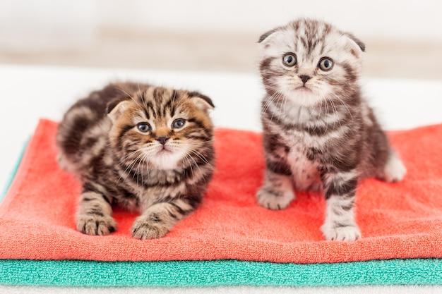 Симпатичный и любопытный. вид сверху двух любопытных шотландских вислоухих котят, сидящих вместе на вершине разноцветной стопки полотенец и смотрящих в камеру