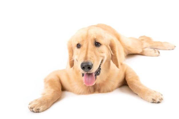 Милая и пушистая собака золотистого ретривера
